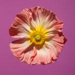 Poppis - Violet / Rose