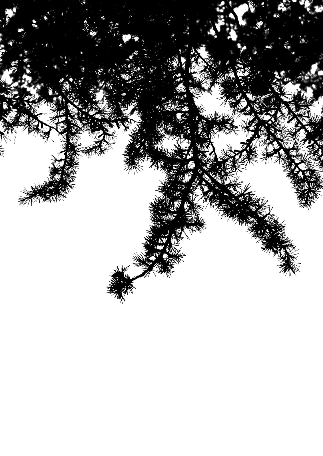 Casali - Les branches - Les pins